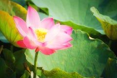 Άνθος Lotus Στοκ εικόνες με δικαίωμα ελεύθερης χρήσης