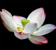 Άνθος Lotus Στοκ Εικόνες