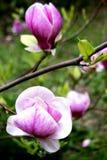 Άνθος Magnolia Άνθισμα των κήπων και των πάρκων την άνοιξη στοκ εικόνες