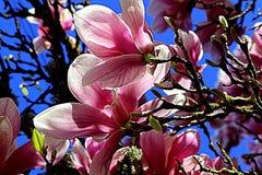 Άνθος Magnolia Στοκ φωτογραφίες με δικαίωμα ελεύθερης χρήσης