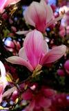 Άνθος Magnolia Στοκ εικόνα με δικαίωμα ελεύθερης χρήσης