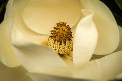 Άνθος Magnolia Στοκ εικόνες με δικαίωμα ελεύθερης χρήσης