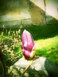 Άνθος Magnolia Στοκ Φωτογραφία