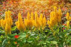 Άνθος Plumed cockscomb ή argentea Celosia στον όμορφο κήπο Στοκ Εικόνες