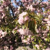 άνθος sakura άνοιξη στο sakura δέντρων στοκ εικόνες