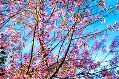 Άνθος Sakura ή κερασιών στο υπόβαθρο μπλε ουρανού Στοκ Φωτογραφίες