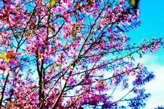 Άνθος Sakura ή κερασιών στο υπόβαθρο μπλε ουρανού Στοκ Εικόνα