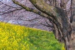 Άνθος Sakura κερασιών και λουλούδι Nanohana σε Kumagaya, Σαϊτάμα, στοκ εικόνες