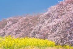 Άνθος Sakura κερασιών στην Ιαπωνία στοκ φωτογραφία με δικαίωμα ελεύθερης χρήσης