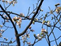 Άνθος Sakura κερασιών στην κορυφή δέντρων στοκ εικόνα