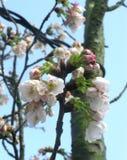 Άνθος Sakura κερασιών στην κορυφή δέντρων στοκ εικόνες
