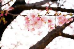 Άνθος Sakura στην Ιαπωνία στοκ φωτογραφίες