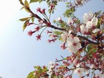 Άνθος Sakura Στοκ Εικόνα