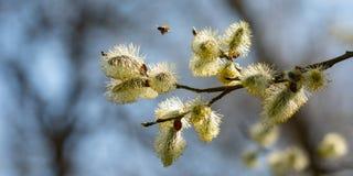 Άνθος Salix ιτιών catkin με την πετώντας μέλισσα στοκ εικόνες