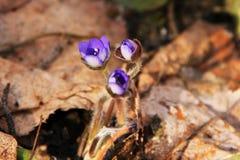 Άνθος Snowdrops στο δάσος στοκ φωτογραφία