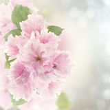 Άνθος Watercolor κερασιών Στοκ φωτογραφίες με δικαίωμα ελεύθερης χρήσης