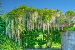 Άνθος Wisteria Glicinia fuji Στοκ εικόνα με δικαίωμα ελεύθερης χρήσης