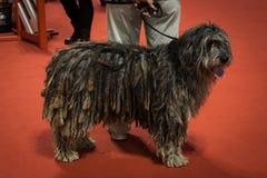 Άνθρωποι και σκυλιά στη διεθνή έκθεση σκυλιών του Μιλάνου, Ιταλία Στοκ φωτογραφίες με δικαίωμα ελεύθερης χρήσης