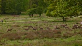 Άνθρωποι μεταξύ των deers στο πάρκο του Ρίτσμοντ φιλμ μικρού μήκους
