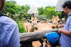 Άνθρωποι που ταΐζουν τα τρόφιμα giraffes στο ζωολογικό κήπο Dusit στοκ εικόνα