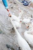 Άνθρωποι που ταΐζουν τη διαχείμαση κύκνων στην παραλία Στοκ φωτογραφία με δικαίωμα ελεύθερης χρήσης