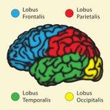 άνθρωπος εγκεφάλου Στοκ Εικόνα