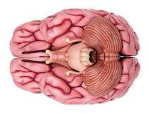άνθρωπος εγκεφάλου Στοκ Φωτογραφίες
