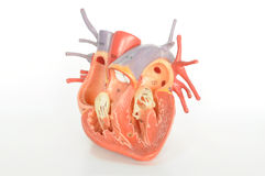 άνθρωπος καρδιών ανατομία&s Στοκ Φωτογραφίες