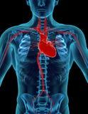 άνθρωπος καρδιών Στοκ Εικόνα