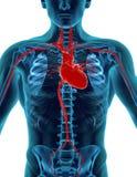 άνθρωπος καρδιών Στοκ Φωτογραφία