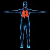 Άνθρωπος με ορατό αναπνευστικό Στοκ Φωτογραφίες