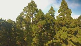 Άνοδος επάνω από το δάσος πεύκων υψηλότερο από τα σύννεφα απόθεμα βίντεο