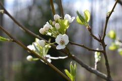 Άνοιγμα ανθών δέντρων αχλαδιών στοκ εικόνες με δικαίωμα ελεύθερης χρήσης
