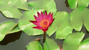 Άνοιγμα ενός ρόδινου λουλουδιού κρίνων νερού