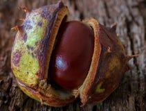 Άνοιγμα κάστανων αλόγων, επίσης γνωστό ως conker στο UK στοκ φωτογραφία