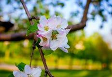 Άνοιξη άνθισης δέντρων της Apple Στοκ εικόνα με δικαίωμα ελεύθερης χρήσης