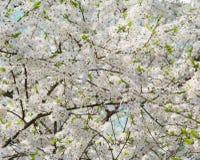 Άνοιξη άσπρα λουλούδια στα δέντρα Apple Στοκ Φωτογραφίες