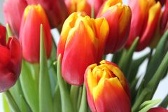 Άνοιξη, ανθοδέσμη των τουλιπών floral απεικόνιση σχεδίου καρτών ανασκόπησης φόντου Στοκ φωτογραφία με δικαίωμα ελεύθερης χρήσης