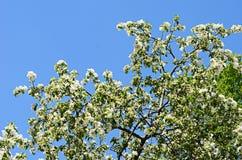 άνοιξη ανθών μήλων Στοκ εικόνα με δικαίωμα ελεύθερης χρήσης
