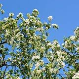 άνοιξη ανθών μήλων Στοκ εικόνες με δικαίωμα ελεύθερης χρήσης