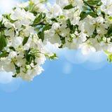άνοιξη ανθών μήλων Στοκ Εικόνα