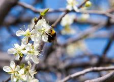 Άνοιξη Δέντρα της Apple στο άνθος Λουλούδια του μήλου άσπρες ανθίσεις του ανθίζοντας δέντρου κοντά επάνω Όμορφο άνθος άνοιξη του  Στοκ εικόνες με δικαίωμα ελεύθερης χρήσης