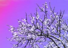 Άνοιξη Δέντρα της Apple στο άνθος Λουλούδια του μήλου άσπρες ανθίσεις του ανθίζοντας δέντρου κοντά επάνω Όμορφο άνθος άνοιξη του  Στοκ εικόνα με δικαίωμα ελεύθερης χρήσης
