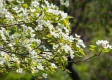 Άνοιξη Δέντρα της Apple στο άνθος Λουλούδια του μήλου άσπρες ανθίσεις του ανθίζοντας δέντρου κοντά επάνω Όμορφο άνθος άνοιξη του  Στοκ Φωτογραφίες
