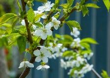 Άνοιξη Δέντρα της Apple στο άνθος Λουλούδια του μήλου άσπρες ανθίσεις του ανθίζοντας δέντρου κοντά επάνω Όμορφο άνθος άνοιξη του  Στοκ Εικόνα