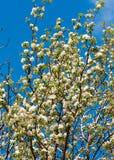 Άνοιξη Δέντρα της Apple στο άνθος Λουλούδια του μήλου άσπρες ανθίσεις του ανθίζοντας δέντρου κοντά επάνω Όμορφο άνθος άνοιξη του  Στοκ φωτογραφία με δικαίωμα ελεύθερης χρήσης