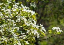 Άνοιξη Δέντρα της Apple στο άνθος Λουλούδια του μήλου άσπρες ανθίσεις του ανθίζοντας δέντρου κοντά επάνω Όμορφο άνθος άνοιξη του  Στοκ Εικόνες