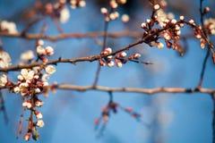 Άνοιξη Δέντρα της Apple στο άνθος Λουλούδια του μήλου άσπρες ανθίσεις του ανθίζοντας δέντρου κοντά επάνω Όμορφο δέντρο βερικοκιών Στοκ Φωτογραφίες