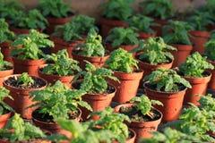 άνοιξη δοχείων φυτών Στοκ φωτογραφία με δικαίωμα ελεύθερης χρήσης