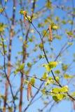 Άνοιξη, ηλιόλουστη ημέρα, τα νέα πράσινα φύλλα του δέντρου σημύδων σε έναν κλάδο στο υπόβαθρο μπλε ουρανού η σημύδα βλαστάνει cat Στοκ Φωτογραφία